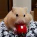 ハムスターのトマトの食べ方がおもしろい!